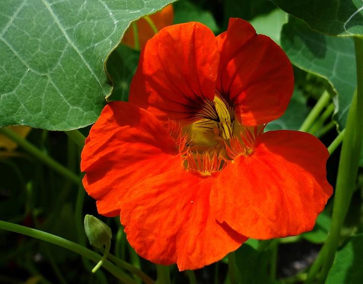Oost-indische kers, een eetbare bloem!